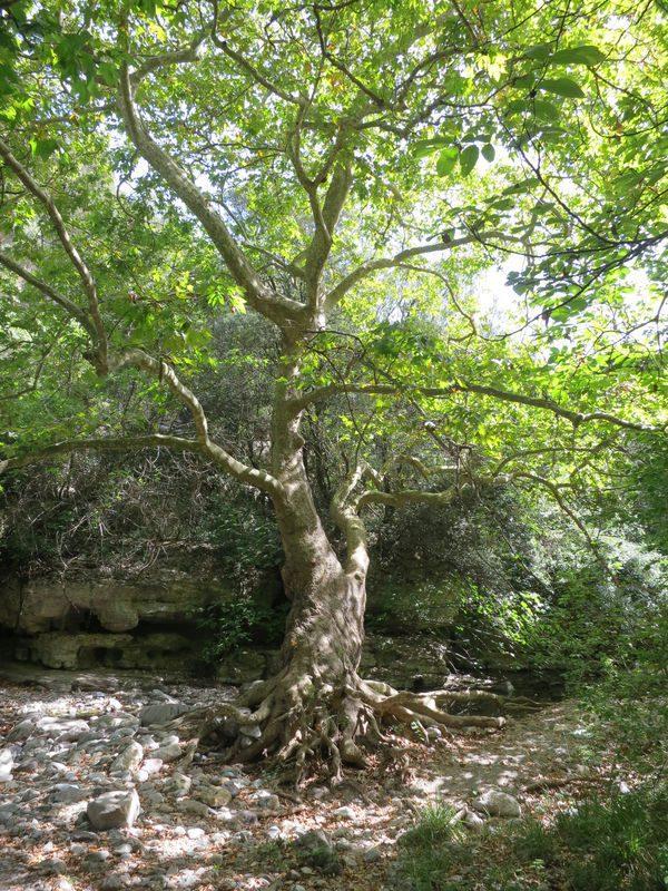 Un platane torturé par la nature au fond du canyon